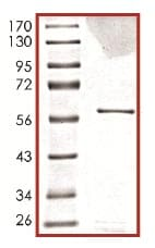SDS-PAGE - MELK protein (ab102551)