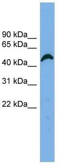 Western blot - APBB3 antibody (ab102631)