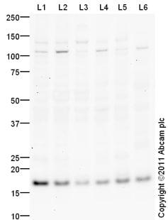 Western blot - Ube2N / Ubc13 antibody (ab103019)