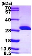 SDS-PAGE - BDH2 protein (ab103058)