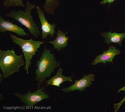 Immunocytochemistry/ Immunofluorescence - Anti-HIF-1-alpha antibody (ab103063)