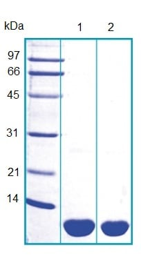 SDS-PAGE - S100A12 protein (ab103393)