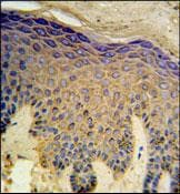 Immunohistochemistry (Formalin/PFA-fixed paraffin-embedded sections) - HAUS4 antibody (ab103709)