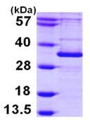 SDS-PAGE - APG5L/ATG5 protein (ab103787)