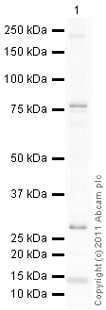 Western blot - Anti-FSH Receptor antibody (ab103874)