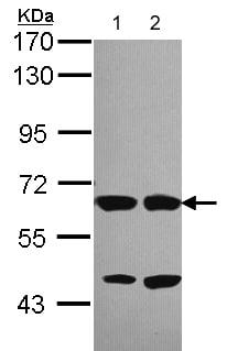 Western blot - STXBP2 antibody (ab103976)