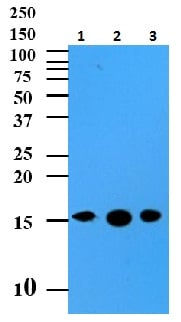 Western blot - Sumo 2+3 antibody [AT10F1] (ab104123)