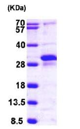 SDS-PAGE - RERG protein (ab104125)