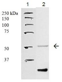 Western blot - PAF Receptor  antibody (ab104162)