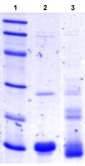 SDS-PAGE - FGF 23 protein (ab104163)