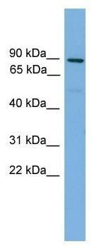 Western blot - Mitofusin 1 antibody (ab104274)