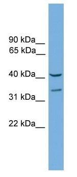Western blot - FOXS1 antibody (ab104408)
