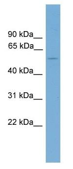 Western blot - FOXD2 antibody (ab104411)