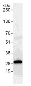 Immunoprecipitation - PGRMC2 antibody (ab104437)