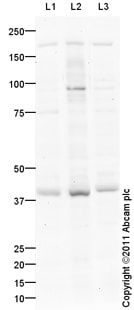 Western blot - Anti-BRN4 antibody (ab104562)