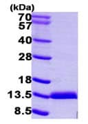 SDS-PAGE - S100A11 protein (ab104643)