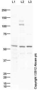 Western blot - Anti-STEAP3 antibody (ab104654)