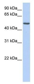 Western blot - PHLDA1 antibody (ab104661)