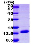 SDS-PAGE - ERH protein (ab104674)