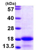 SDS-PAGE - MYL6 protein (ab104753)