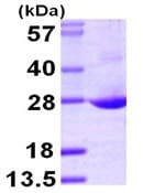 SDS-PAGE - GRG (Groucho homologue) protein (ab104756)