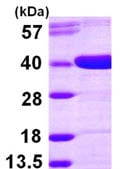 SDS-PAGE - AKR1D1 protein (ab104758)