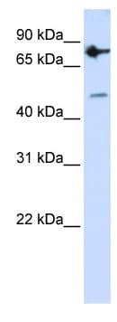 Western blot - ZNF483 antibody (ab104786)
