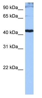 Western blot - SR protein repeat antibody (ab104793)