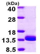 SDS-PAGE - TSTD1 protein (ab104819)