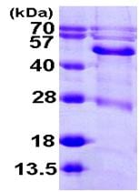 SDS-PAGE - BCKDHA protein (ab104900)