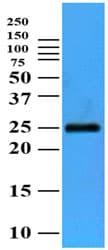 Western blot - FKBP14 antibody [AT3F4] (ab105018)