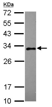 Western blot - Rab20 antibody (ab105043)