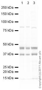 Western blot - Anti-UTF1 antibody (ab105090)