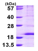SDS-PAGE - RPS14 protein (ab105130)