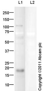 Western blot - Anti-BNP/ProBNP antibody (ab105181)