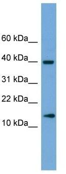 Western blot - ATP6V1G2 antibody (ab105313)