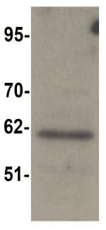 Western blot - SRP1 antibody (ab105346)