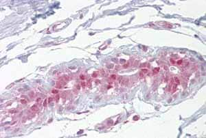 Immunohistochemistry (Formalin/PFA-fixed paraffin-embedded sections)-Anti-EHF antibody(ab105375)