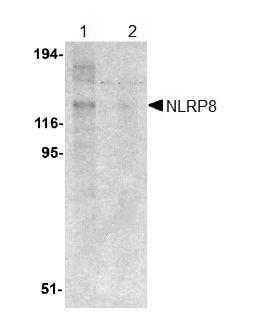 Western blot - NLRP8 antibody (ab105406)