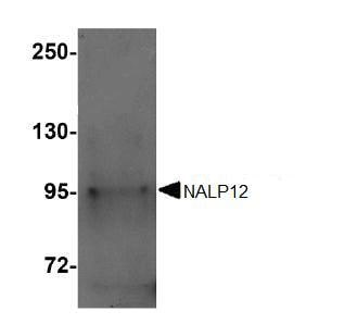Western blot - NALP12 antibody (ab105409)