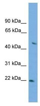 Western blot - Neurexophilin 3 antibody (ab105424)