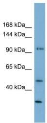 Western blot - FAM35A antibody (ab105521)
