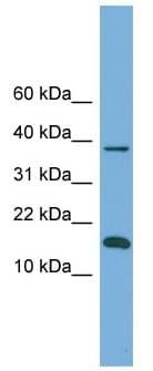 Western blot - BOLA1 antibody (ab105548)