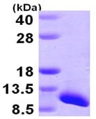 SDS-PAGE - SNRPG protein (ab105596)