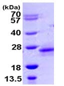 SDS-PAGE - RHOD protein (ab105608)