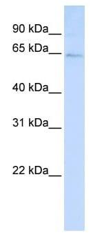 Western blot - LRFN3 antibody (ab105645)