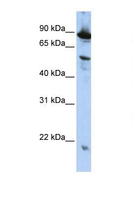 Western blot - ZGPAT antibody (ab105661)