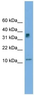 Western blot - C15orf40 antibody (ab105716)
