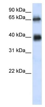 Western blot - ZUFSP antibody (ab105774)