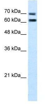 Western blot - FAM55D antibody (ab105791)